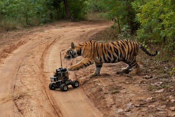 18-tiger-cub-bats-remote-controlled-camera-670