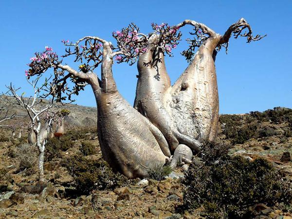 ostrov Socotra4