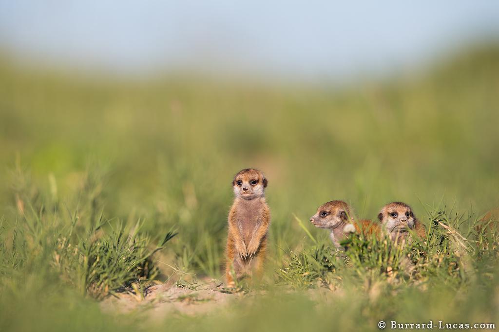 baby_meerkat