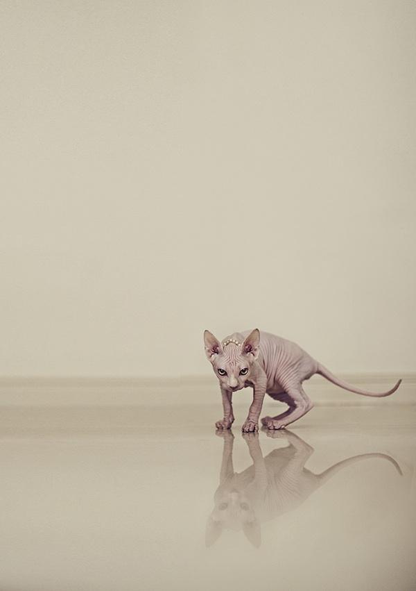 hairlesscat03