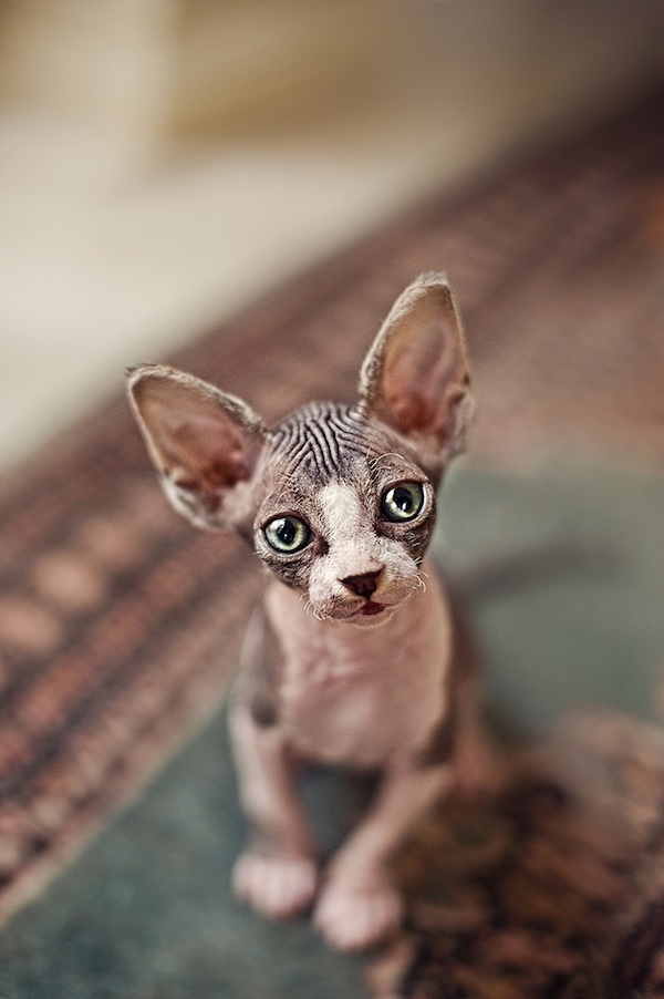 hairlesscat12