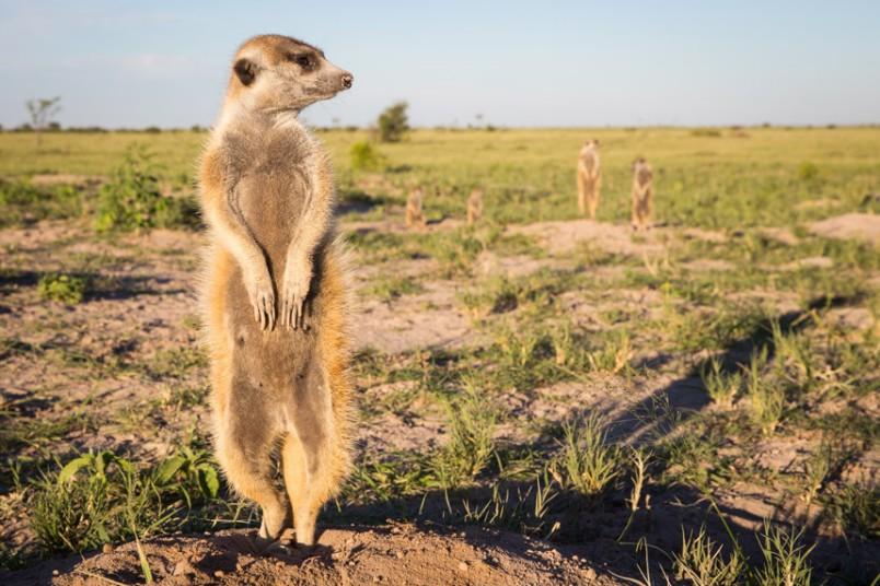 meerkat-9_2875883k