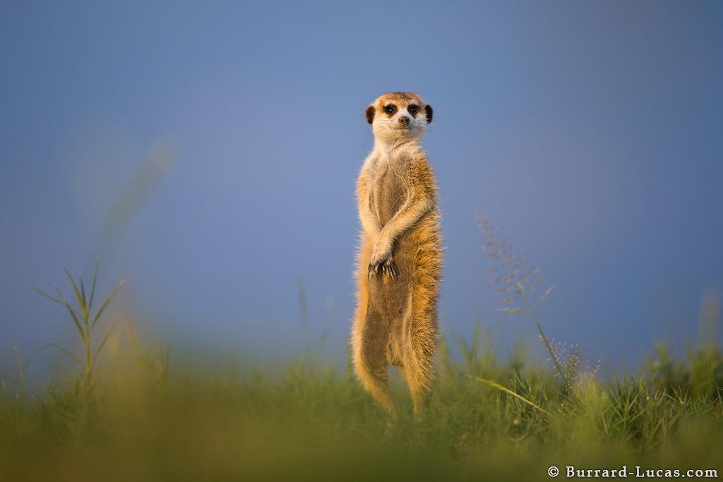 meerkat_portrait