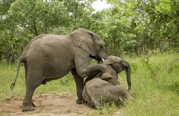 opilí sloni