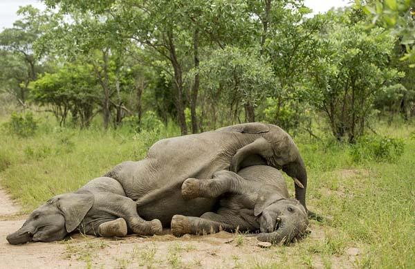 opilí sloni2