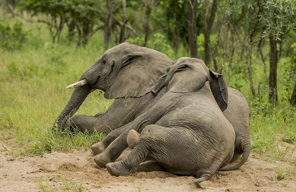 opilí sloni6