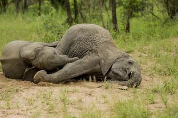 opilí sloni3