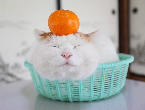 Široneko kočka
