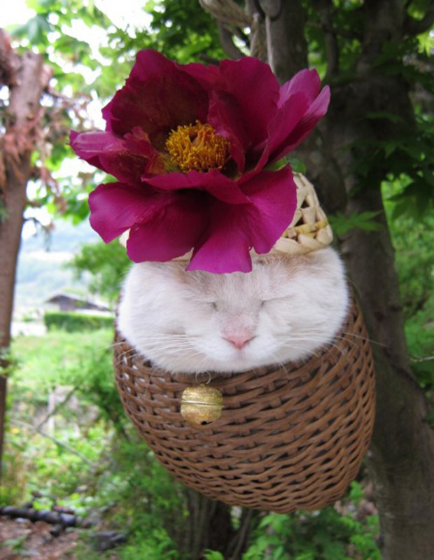 Shironeko kočka