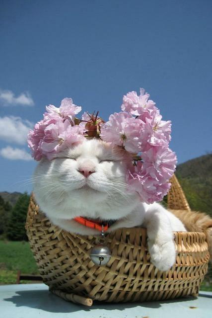 Shironeko kočka2