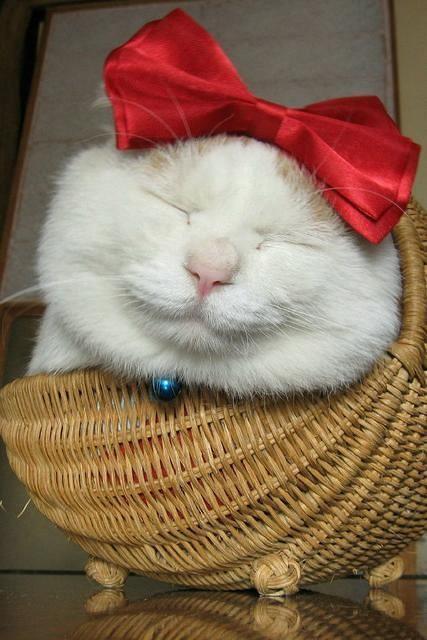 Shironeko kočka4