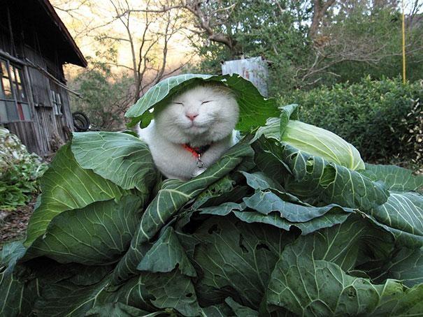 Shironeko kočka6