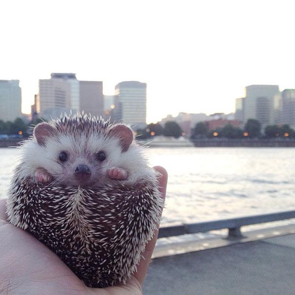 biddy-cute-hedgehog-adventures-23