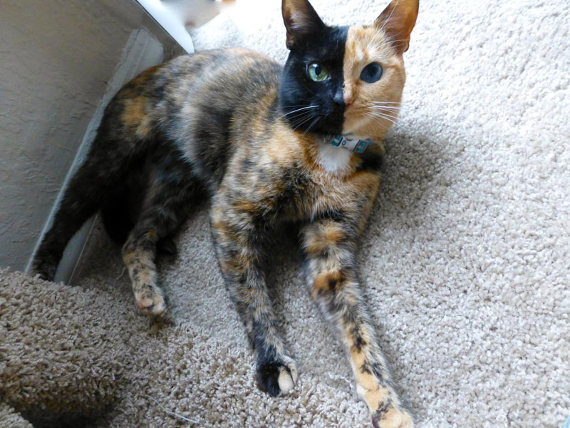 venus-chimera-cat-two-face-half-black-half-tabby-1