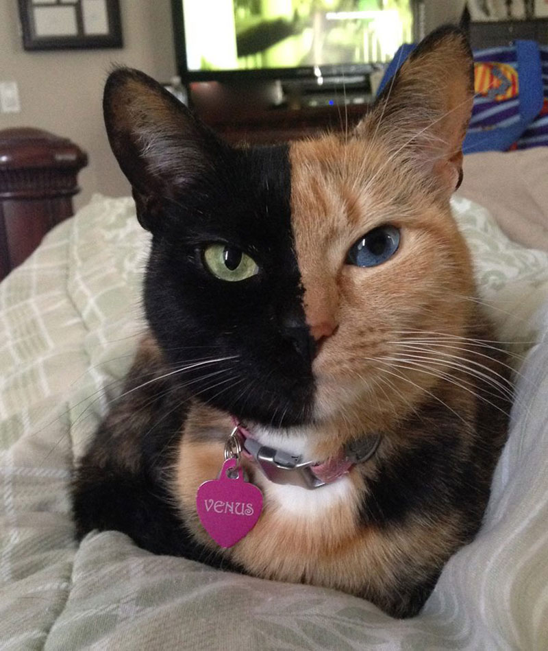 venus-chimera-cat-two-face-half-black-half-tabby-7