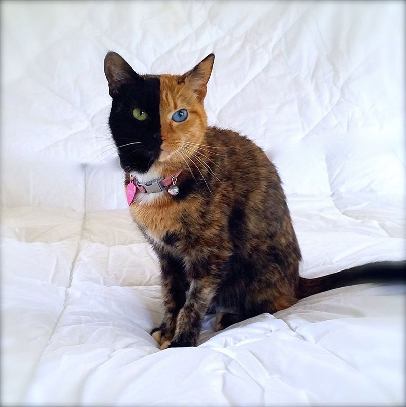 venus-chimera-cat-two-face-half-black-half-tabby-8