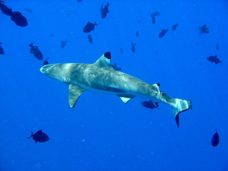 800px-Carcharhinus_melanopterus_bora_bora