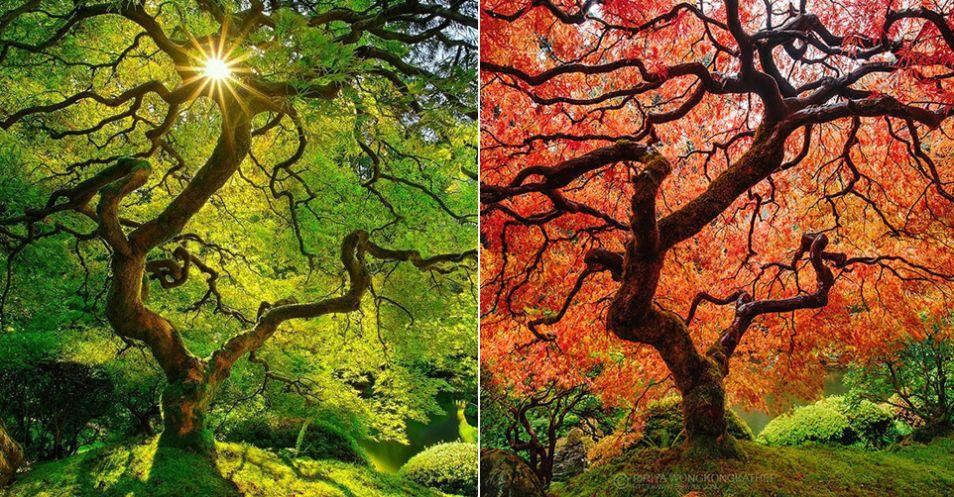 Japonský javor