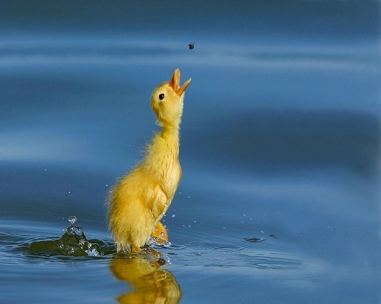 duckling-1497288