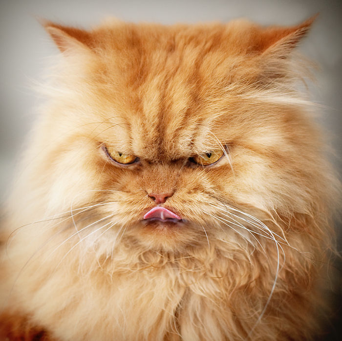 garfi-evil-grumpy-persian-cat-10__700