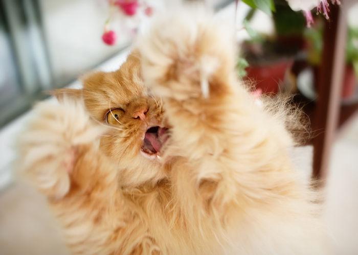 garfi-evil-grumpy-persian-cat-1__700