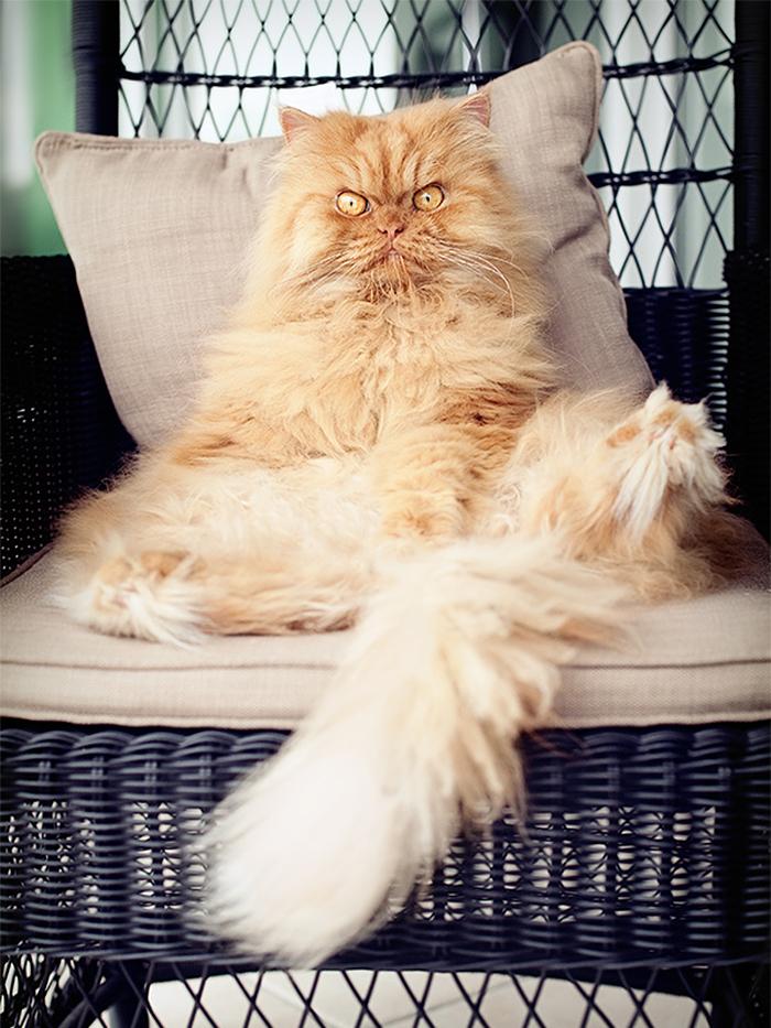 garfi-evil-grumpy-persian-cat-22__700