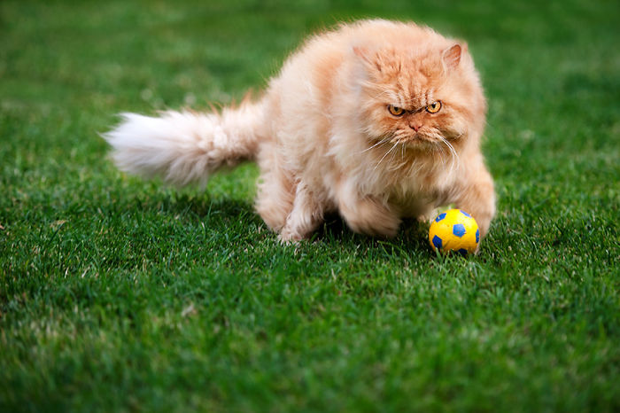 garfi-evil-grumpy-persian-cat-30__700