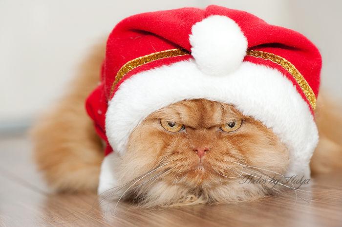 garfi-evil-grumpy-persian-cat-35__700
