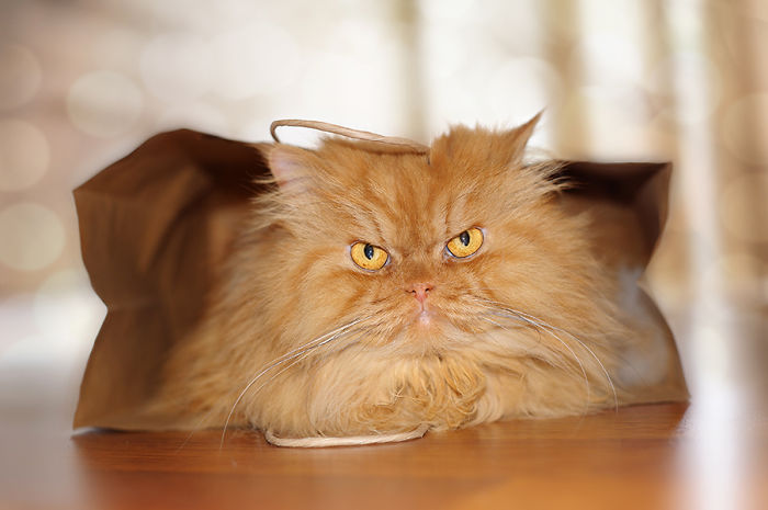 garfi-evil-grumpy-persian-cat-8__700