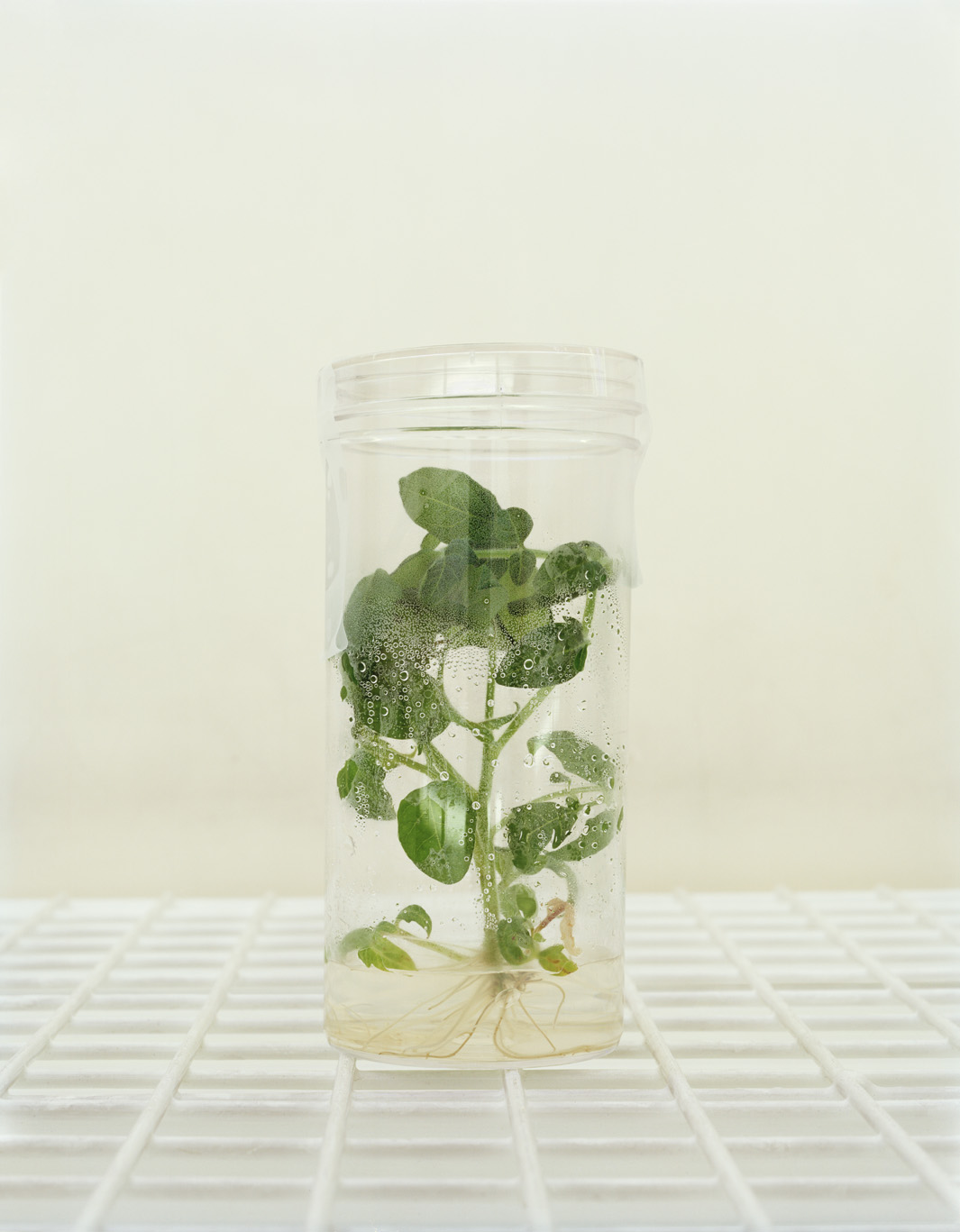 GM tomato plant.