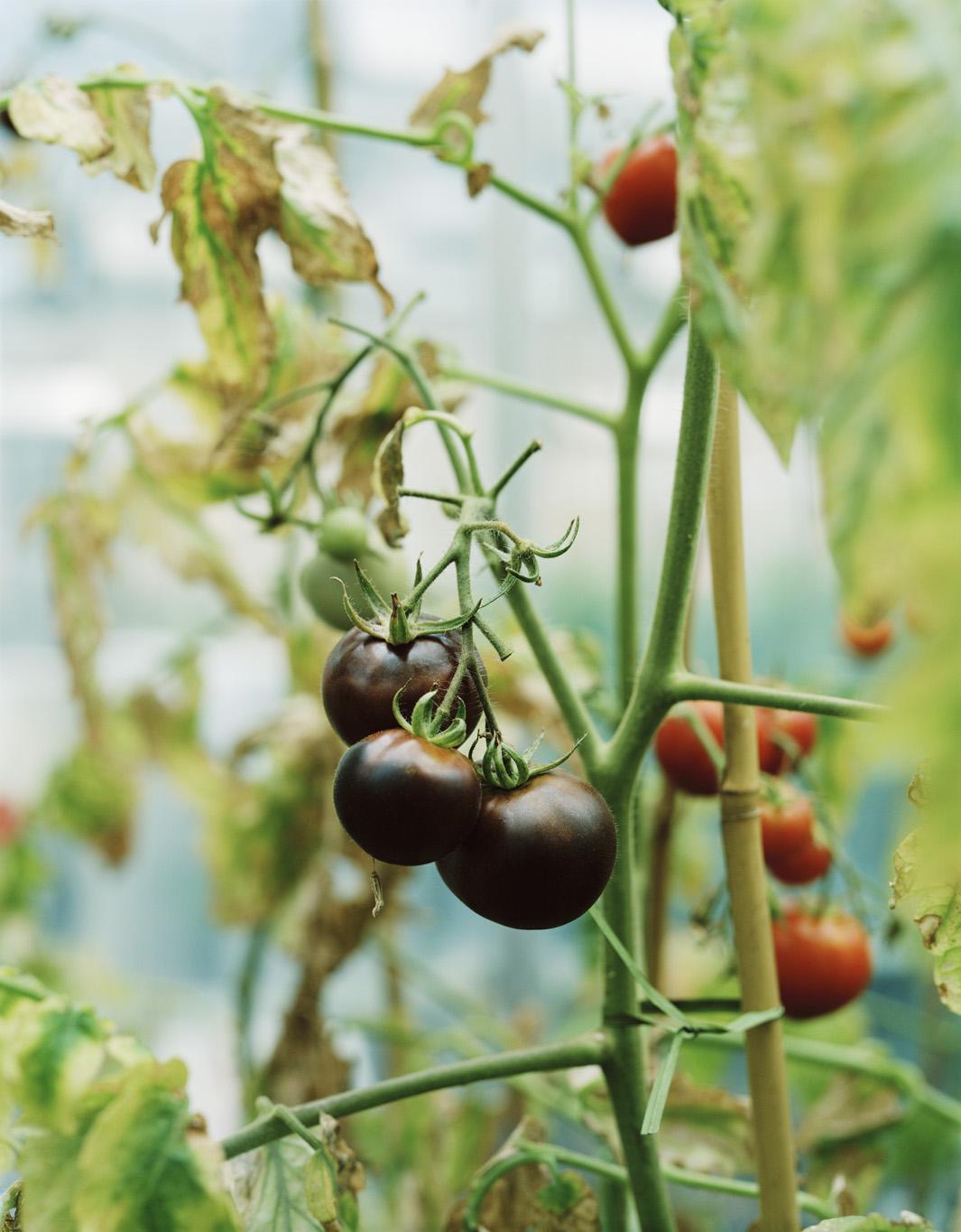 GM tomatoes.