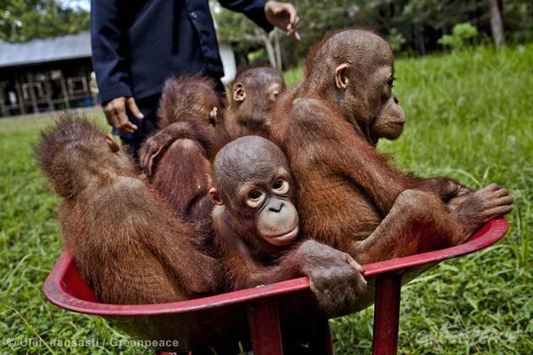 Orangutan in Central Kalimantan