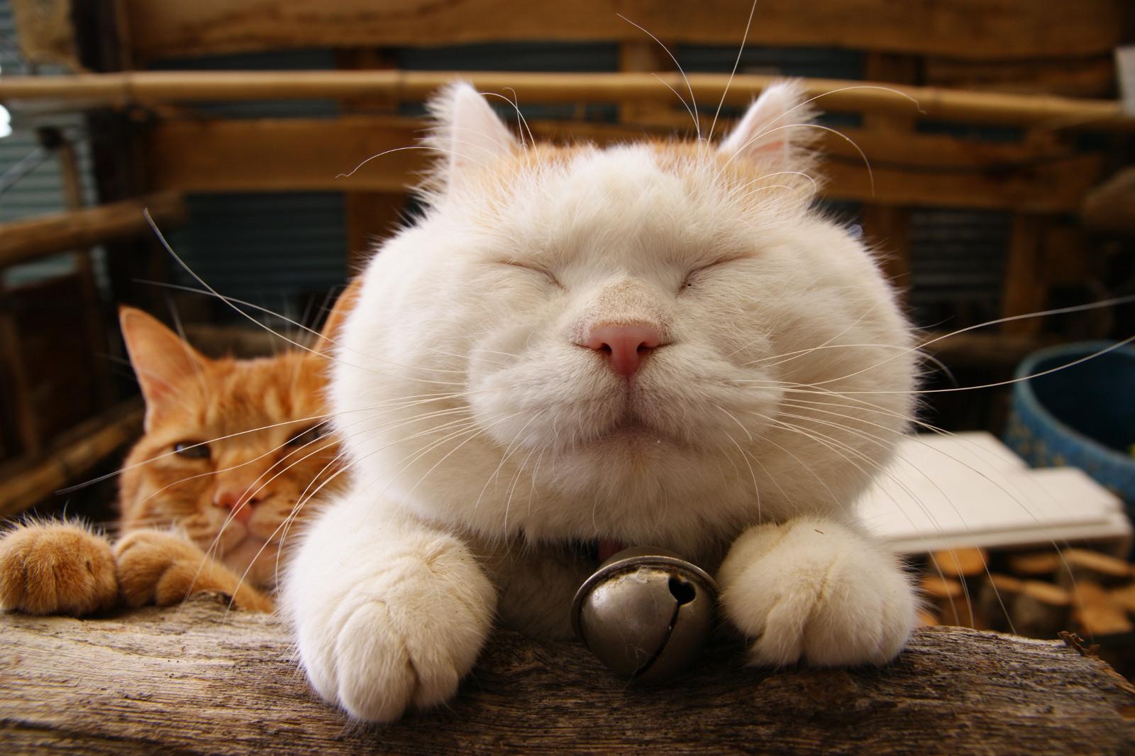 shiro_cat