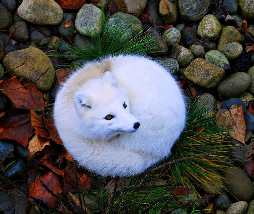 fox-species-photography-1-3