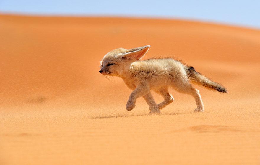 fox-species-photography-2-1