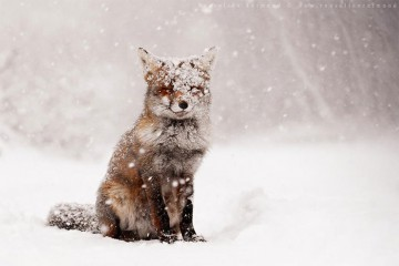 fox-species-photography-3-1