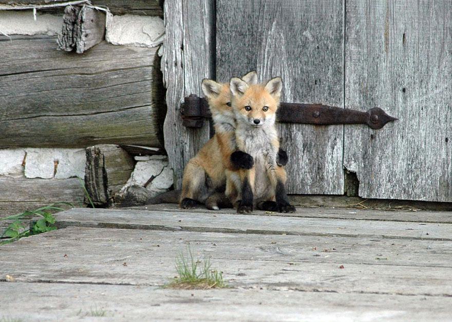 fox-species-photography-3-3