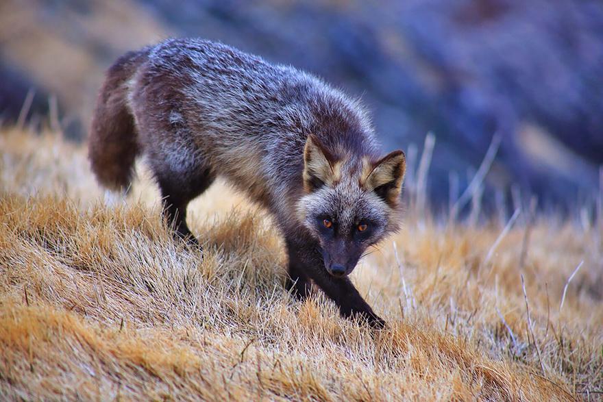 fox-species-photography-4-1