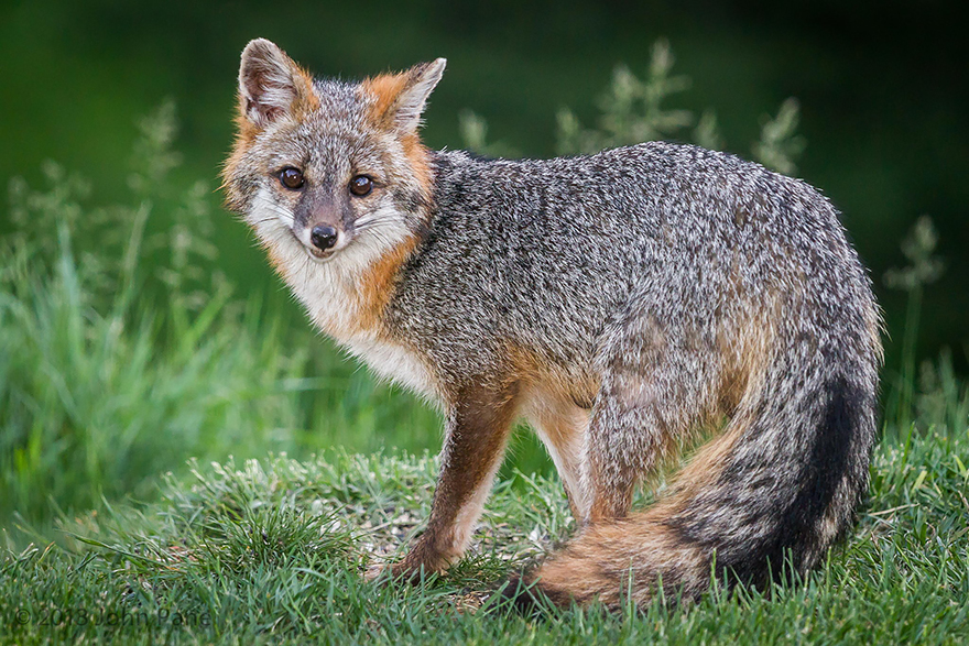 fox-species-photography-6-1
