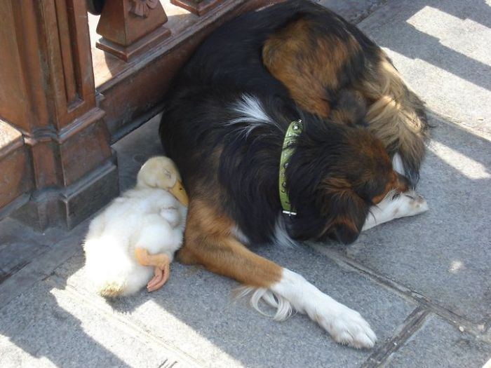 unusual-animal-friendships-41258
