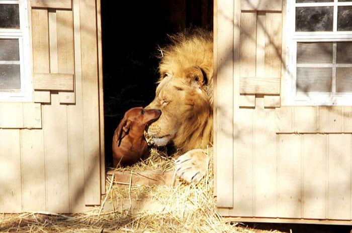 unusual-animal-friendships-97696