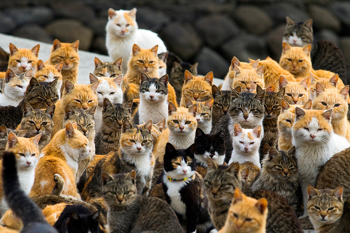aoshima-cat-island-japan (2)