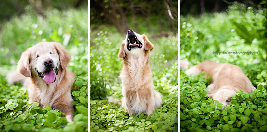 smiley-blind-therapy-dog-golden-retriever-stacey-morrison-1