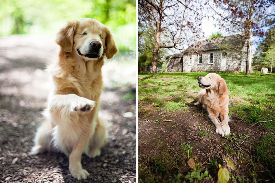 smiley-blind-therapy-dog-golden-retriever-stacey-morrison-10