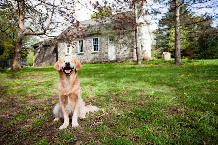 smiley-blind-therapy-dog-golden-retriever-stacey-morrison-6