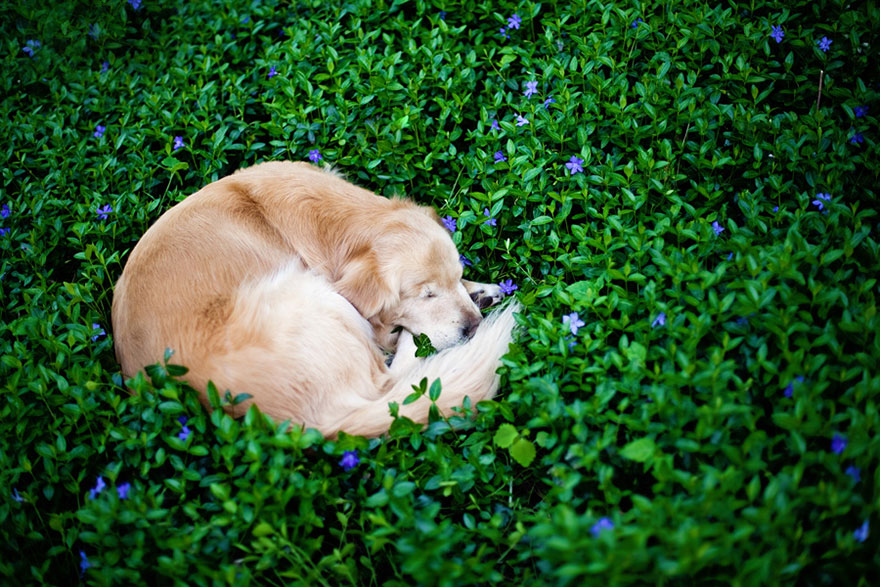 smiley-blind-therapy-dog-golden-retriever-stacey-morrison-7