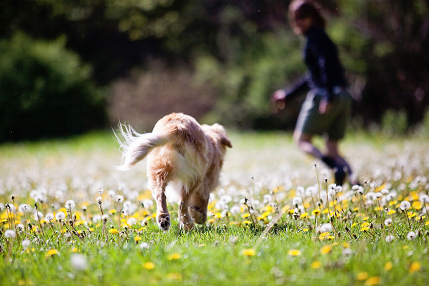smiley-blind-therapy-dog-golden-retriever-stacey-morrison-8