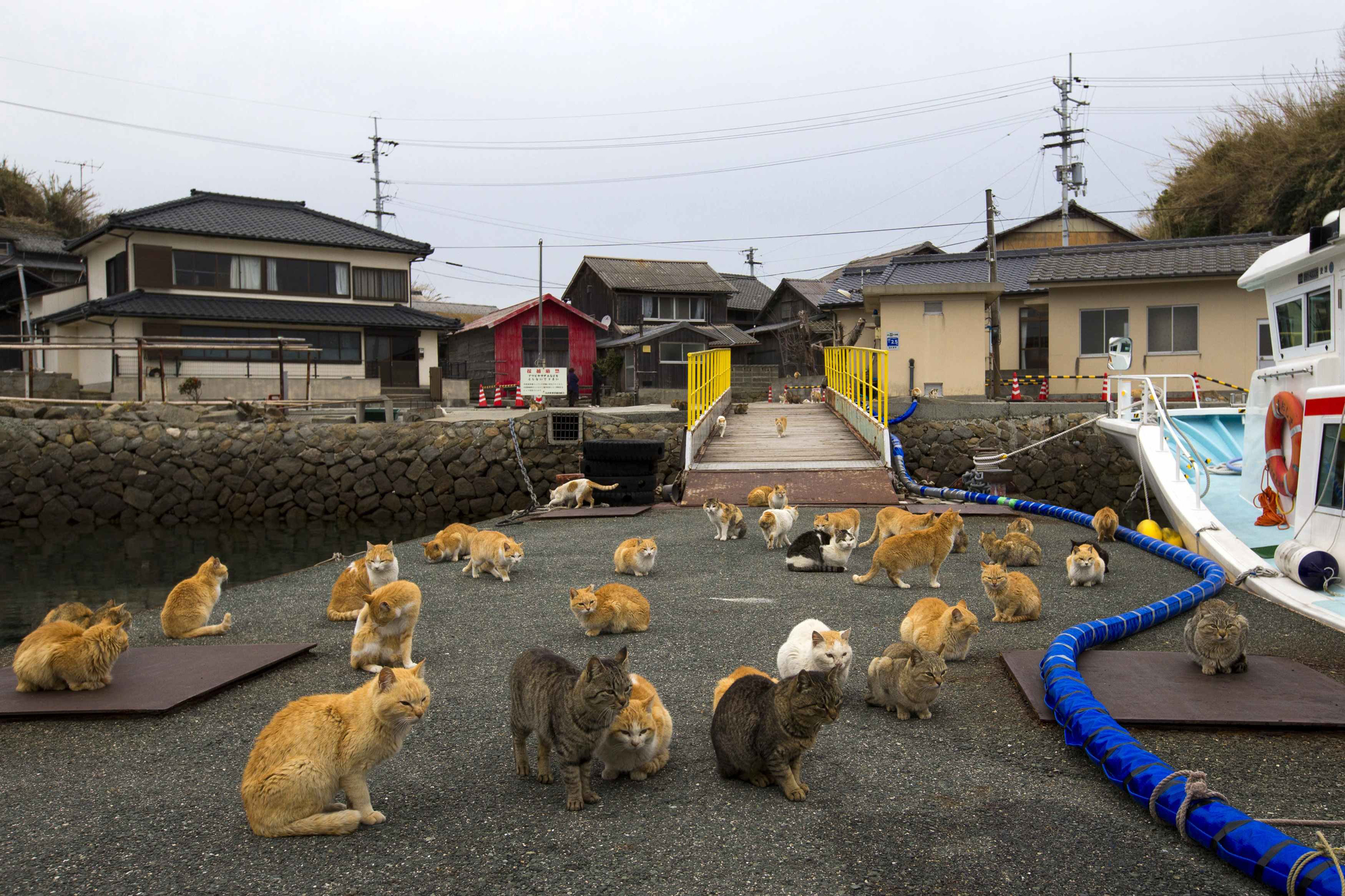 Image: A clowder of cats crowd the wharf on Aoshima Island in Ehime prefecture in southern Japan