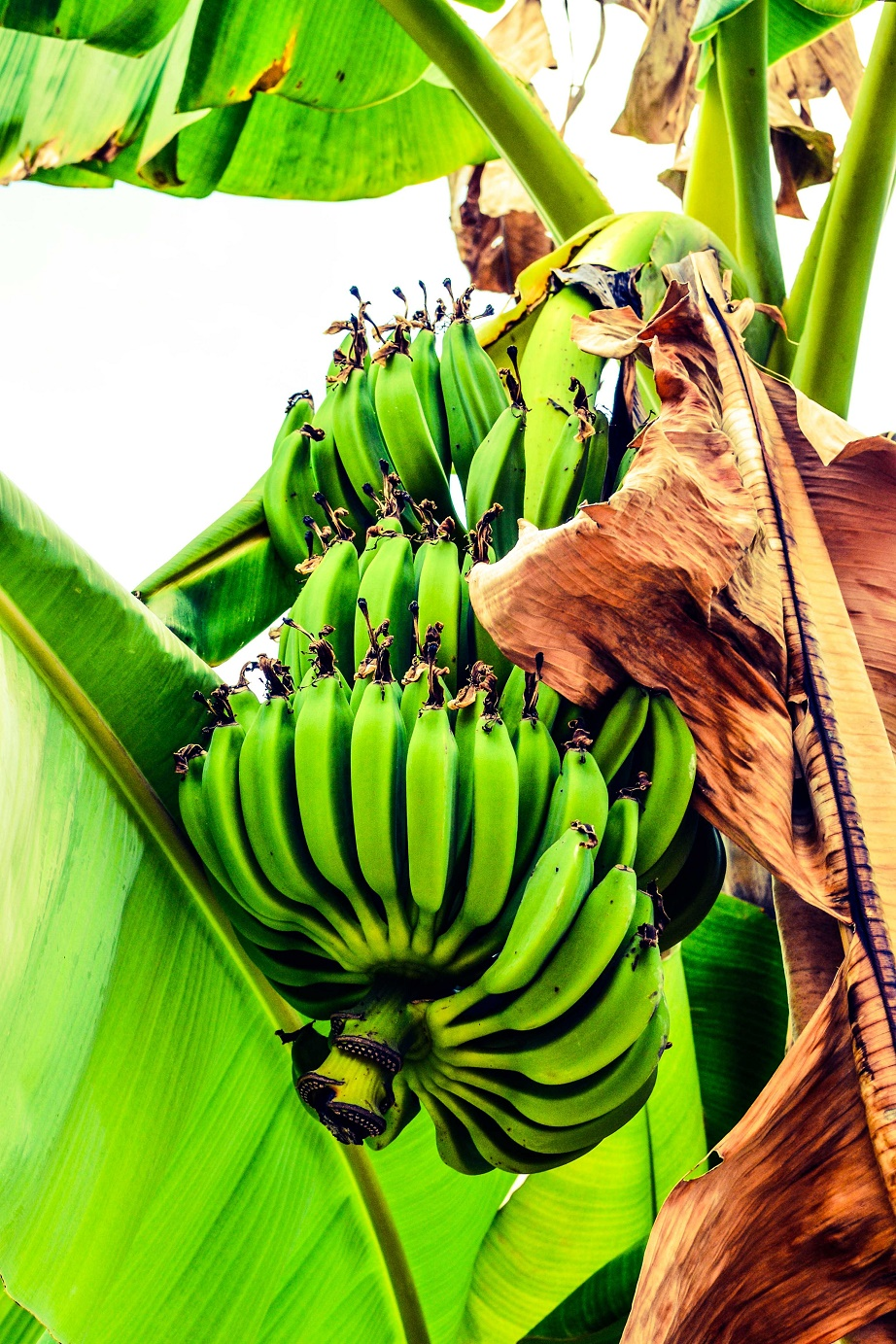 Banany. Maledivy