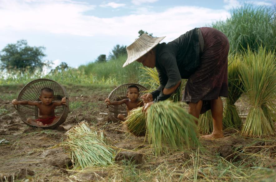 Houpací křesla - Žena přesazuje rýži na poli, zatímco její děti se houpou v koších jako v křeslech blízko Mekongu v Laosu (1968)
